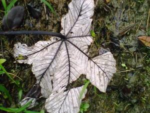 white leaf in PR rainforest