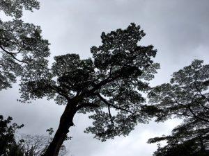 Oahu Trees